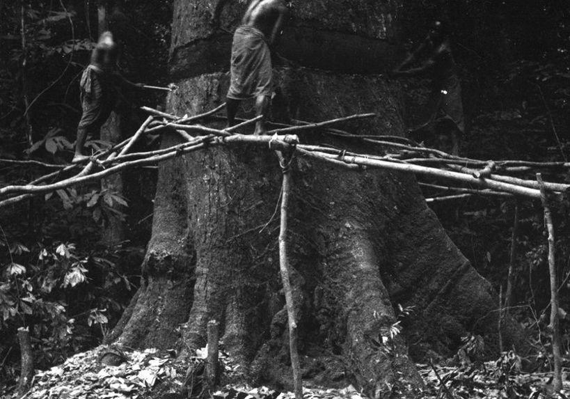 Abattage d' un okoumé dans la forêt gabonnaise