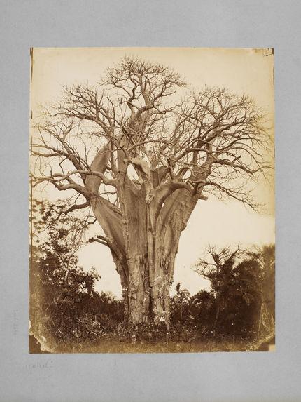 Baobab à l'île Mohéli