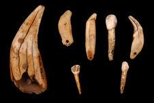 Dents ou fragments de dents