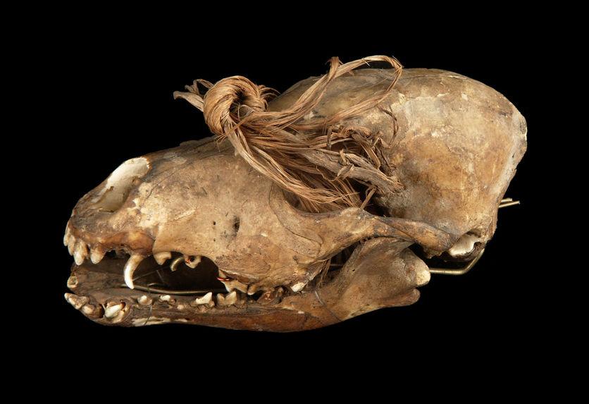 Crâne de carnivore (canidé)