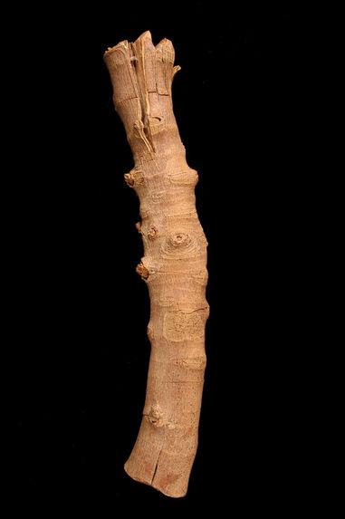 Echantillons de bois de figuier