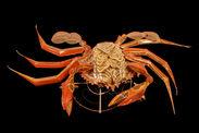 Lanterne : crabe