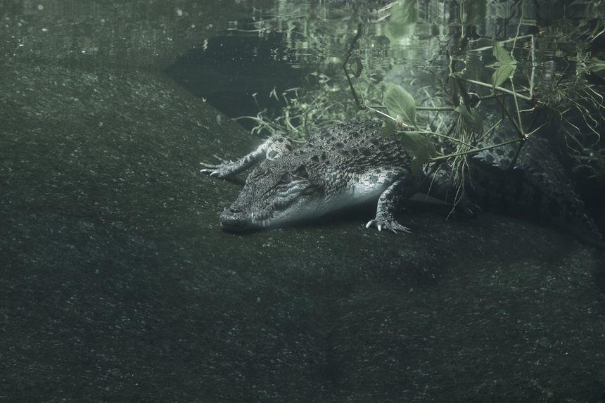 Crocodile, Adventureland Langkawi