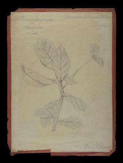 Branche d'Amandier de Cayenne