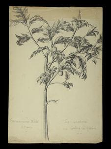 Le maïoré ou arbre à pain