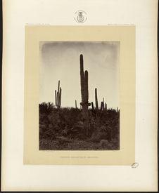 Cereus Giganteus, Arizona