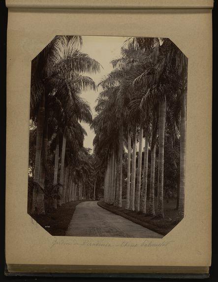 Jardin de Péradénia - Choux Palmistes