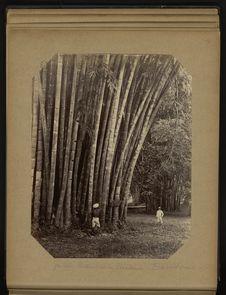 Jardin Botanique de Péradénia - Bambous