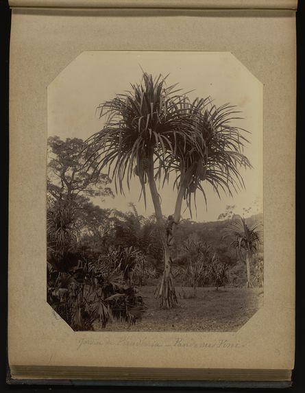 Jardin de Péradénia - Pandanus Pini