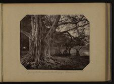 Jardin Botanique de Buitenzorg - Banians