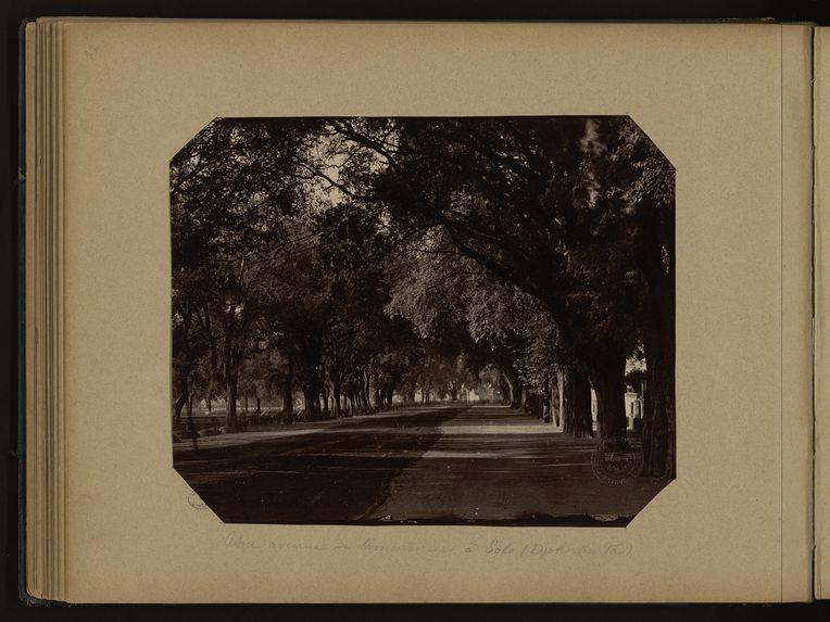 Une avenue de tamariniers à Solo (Djokarkarta)