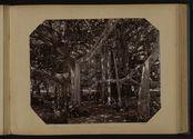 Banyan Tree - multipliant