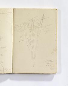 Iris violet des montagnes