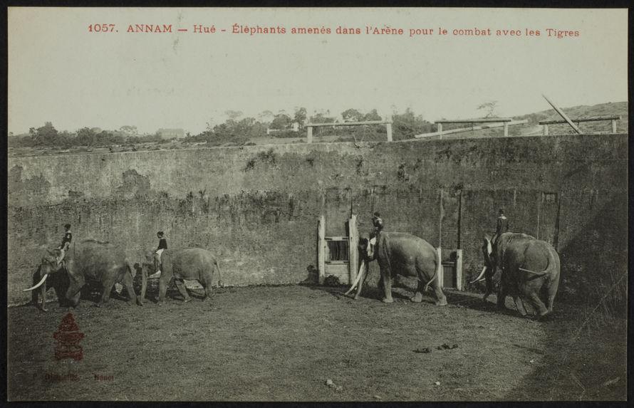 Eléphants menés dans l'arène pour le combat avec les tigres