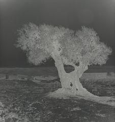 Mont des Oliviers [un olivier]