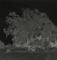 Sans titre [arbre garni de mousse espagnole]