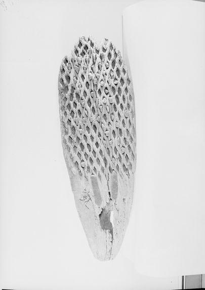 Tribulum, face inférieure