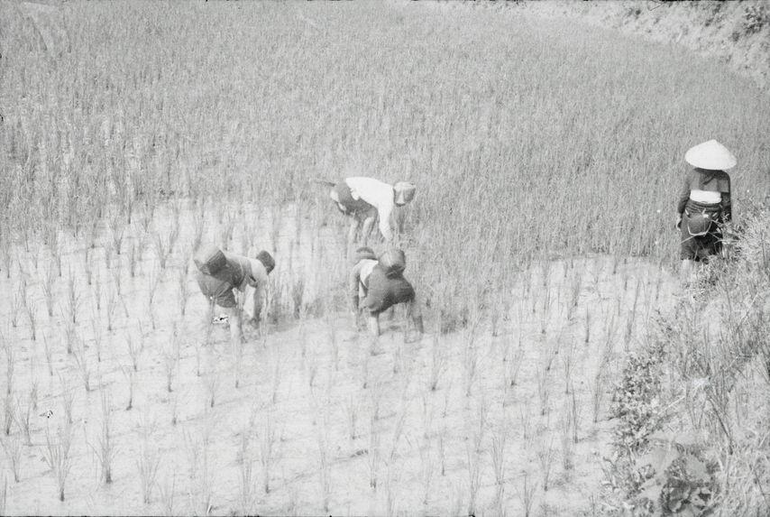 Désherbage d'une rizière inondée
