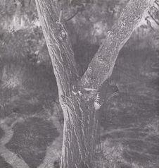 Corne de bélier sur abricotier pour le protéger du mauvais oeil [jardin rive...