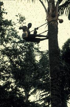 Sans titre [homme montant sur un palmier]