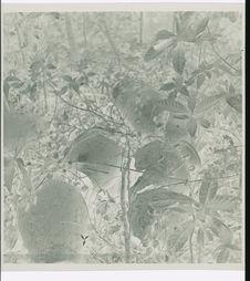 Sans titre [arbres fruitiers dans les environs de Dalat]