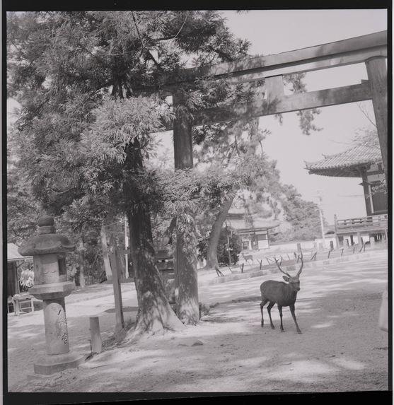 Kyoto 3, Nara [un daim dans la cité]