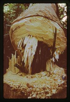 Abattage de l'arbre d'Oudoumou pour faire la Vaca Bruto