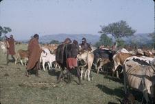 Sans titre [jeunes hommes maasaï et troupeau de bovins]