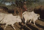 Sans titre [hommes samburu et bovins]