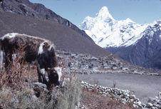 A chauri calf in Khunjung