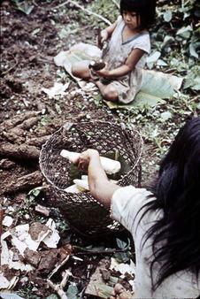 Préparation du masato de manioc