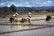 Femmes repiquant le riz