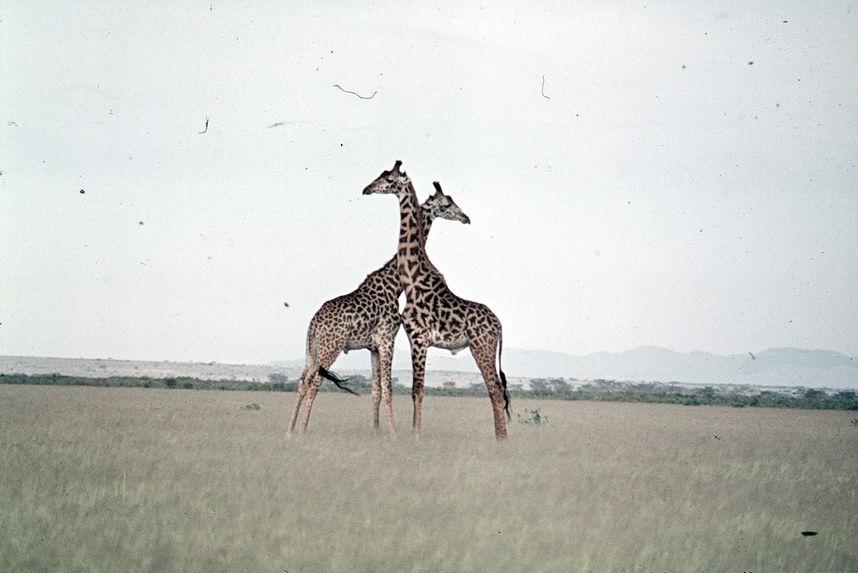 Sans titre [girafes]