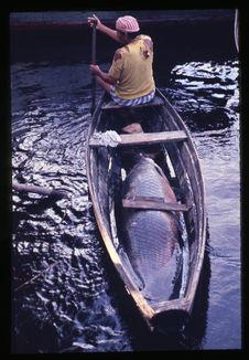 Homme transportant un poisson pirarucù
