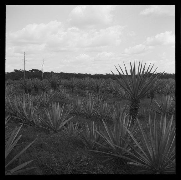 Plantation [champ d'agaves ou de sisal]
