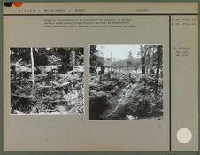 Fougères arborescentes à la plantation de quinquina de Sérédou