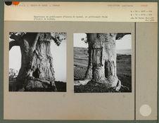 Cicatrices de prélèvement d'écorce de baobab