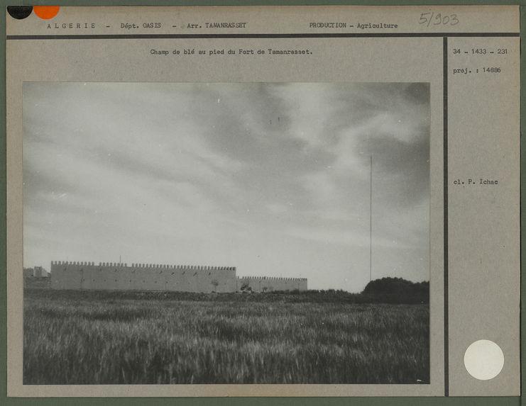Champ de blé au pied du Fort de Tamanrasset
