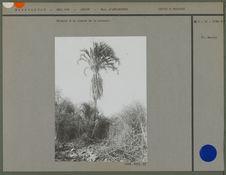 Palmier à la limite de la brousse