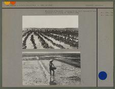 Plantation de Can An Ha : arrachage du riz