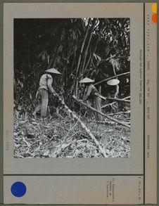Abattage des bambous femelles tre nua