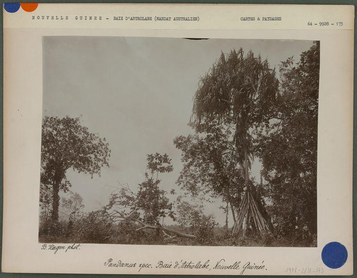 Pandanus spec. Baie d'Astrolabe Nouvelle-Guinée