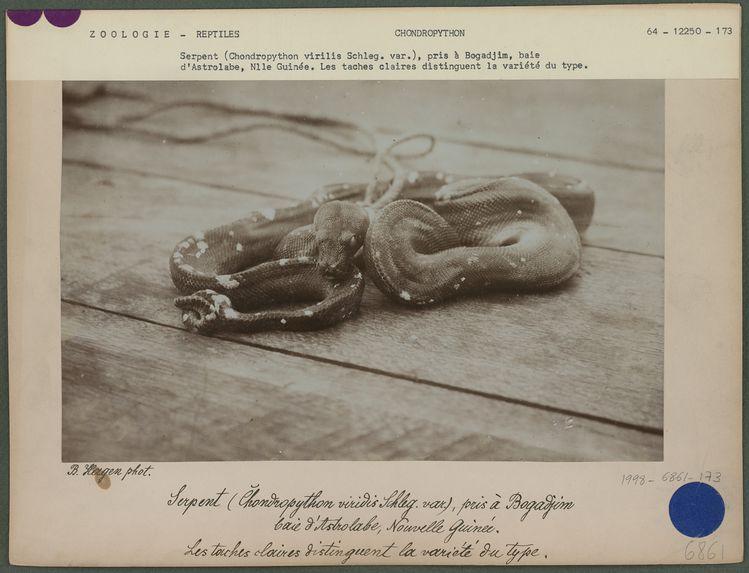 Serpent (Chondropython virilis Schleg. var.)