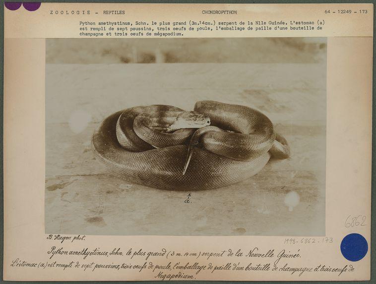 Python amethystinus, Schn.