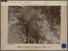 Sanglier de Sumatra (Sus Vittatus)
