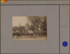 Troupeau de chameaux des Kalmouks