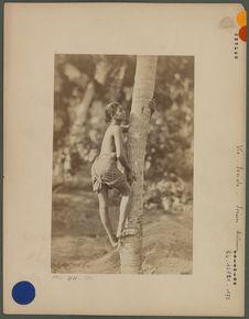 Cinghalais montant à un palmier