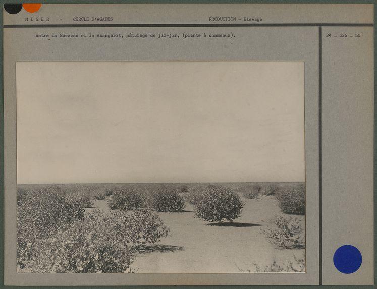 Entre In Guezzam et In Abangarit : pâturage de jir-jir
