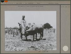 Zébus, assez nombreux dans les arrems, sont importés de l'Adrar