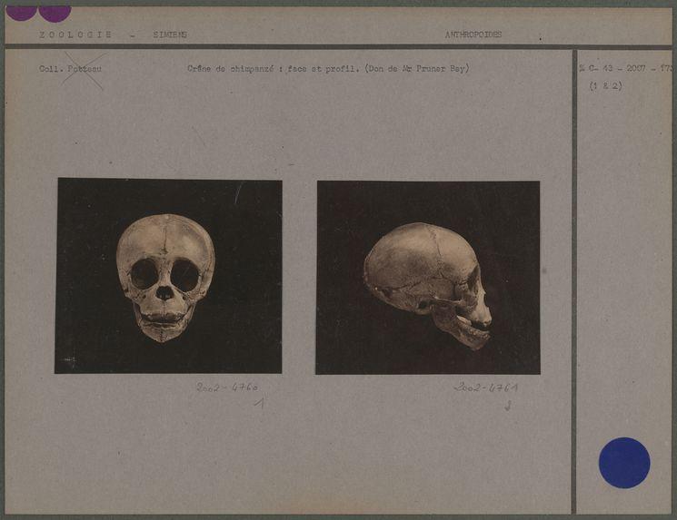 Crâne de chimpanzé